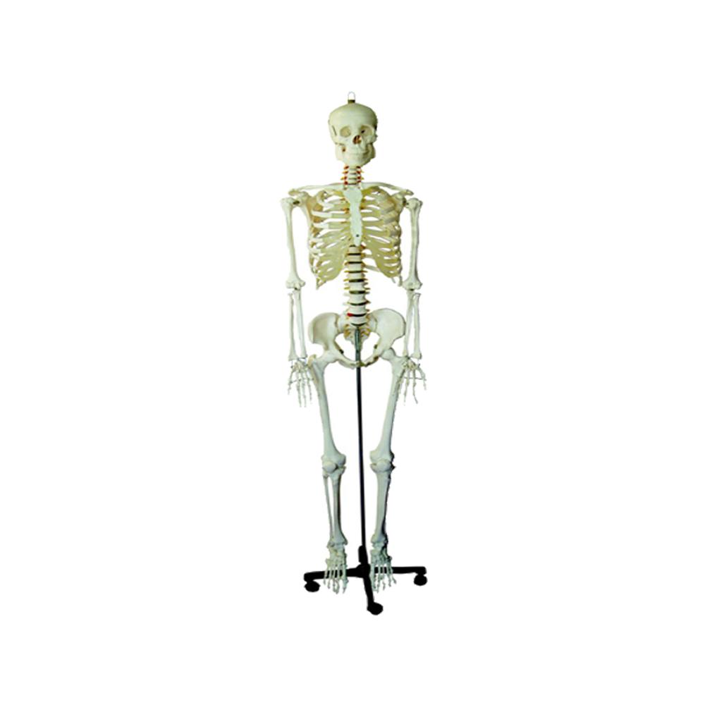 Anatomical Models & Skeletons