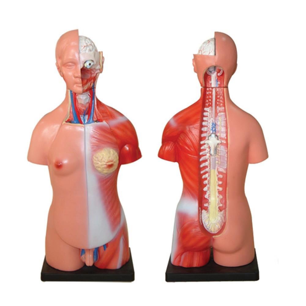 Anatomical Models Skeletons Archives D8 Fitness